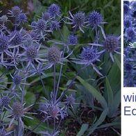 75x Pompondahlie-Dahlien Samen Garten Blumen Frisch Saatgut K24
