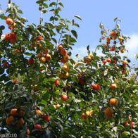 Lotuspflaume leckeres Obst Samen Saatgut Exotisch winterhart Garten Obstsamen.