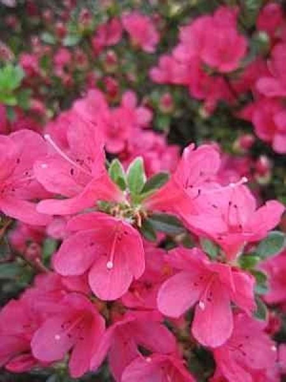 Rhododendron Millenium 30-40cm Rhododendron viscosum
