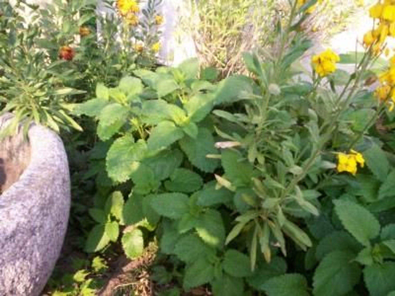 zitronenmelisse pflanze lecker gesund kaufen bei. Black Bedroom Furniture Sets. Home Design Ideas