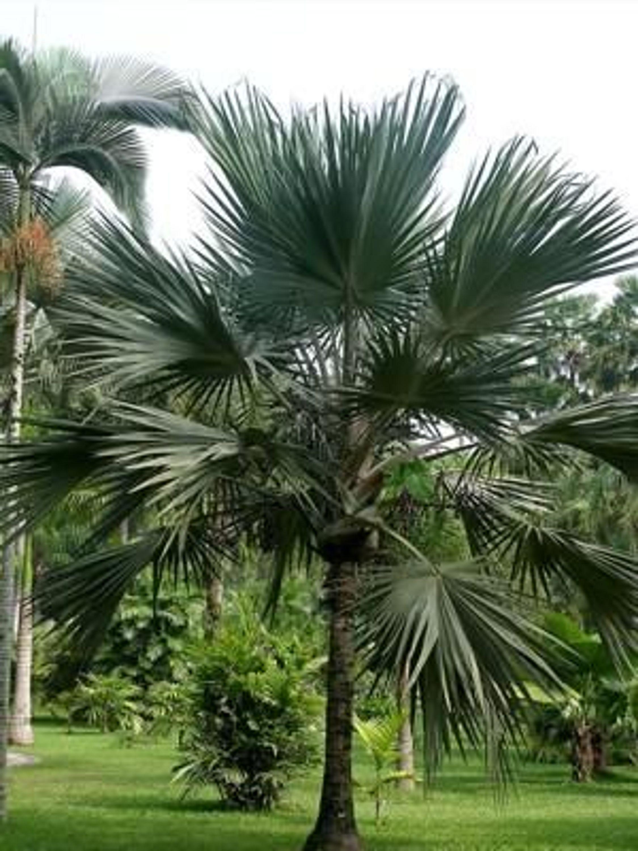 Chinesische schirm palme zimmer k bel palme 15 s kaufen - Palme zimmer ...