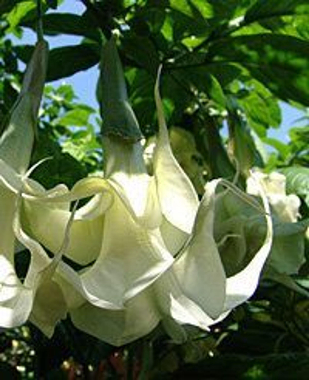 engelstrompete flowerdream jungpflanze im 9 cm topf. Black Bedroom Furniture Sets. Home Design Ideas