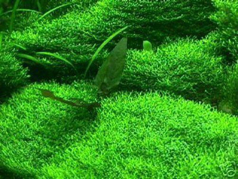 unterwassergras f r das aquarium bildet einen rasen unter wasser wasserpflanzen kaufen bei. Black Bedroom Furniture Sets. Home Design Ideas