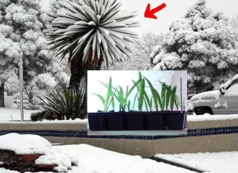 winterh rteste palme der welt f r den garten mazari jungpflanze sehr selten kaufen bei. Black Bedroom Furniture Sets. Home Design Ideas