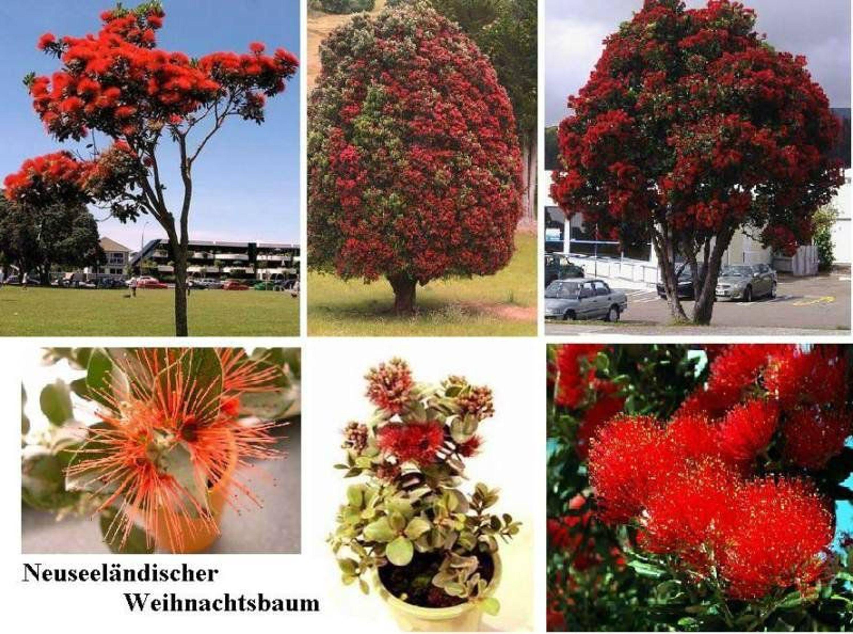 roter weihnachtsbaum aus australien der eukalyptus duft vertreibt m cken samen kaufen bei. Black Bedroom Furniture Sets. Home Design Ideas