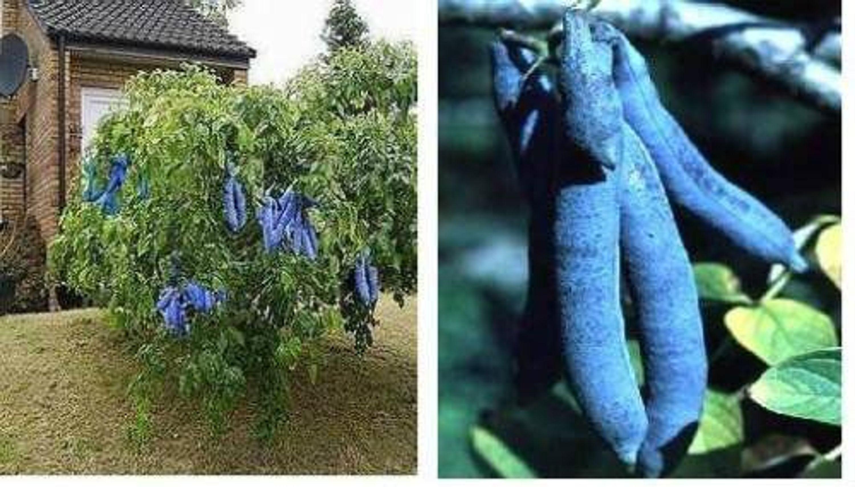 Blaugurken Baume Stecklinge Winterharte Exotische Obstbaume Exoten