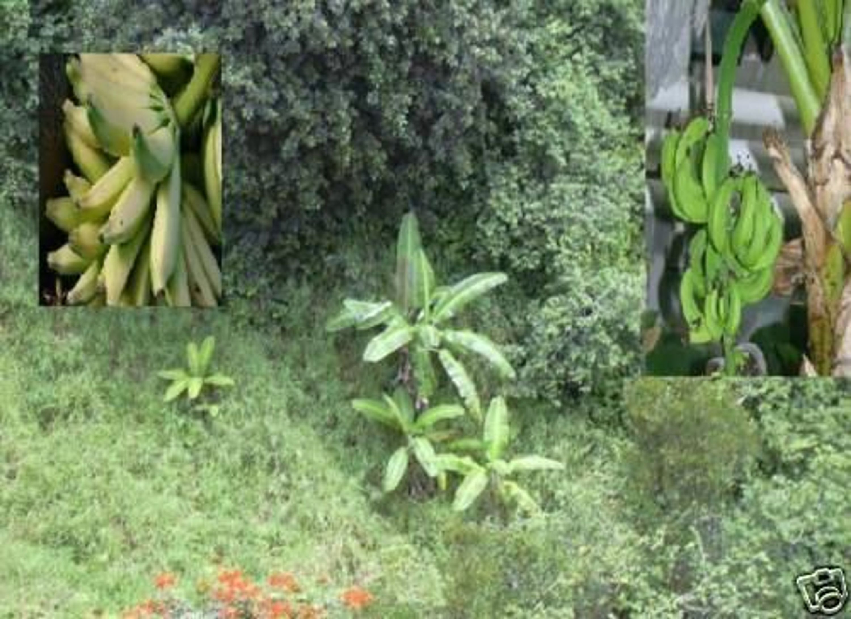 winterharte banane musa nagensium bildet essbare. Black Bedroom Furniture Sets. Home Design Ideas
