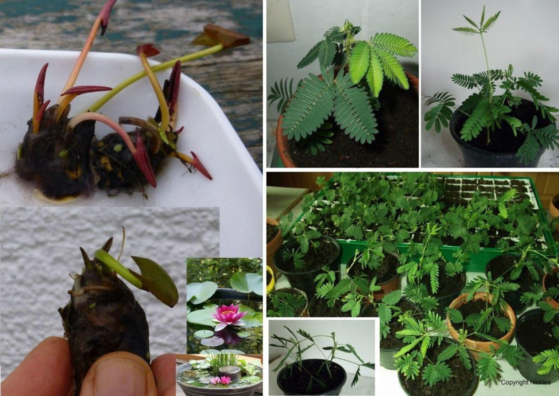 sortiment seerosen mini nymphea rose arey bonsai knolle mimose samen kaufen bei. Black Bedroom Furniture Sets. Home Design Ideas