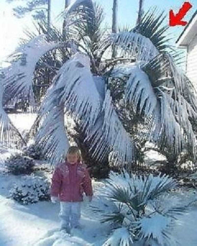 winterharte exotische himmalaja palme stammbildende. Black Bedroom Furniture Sets. Home Design Ideas