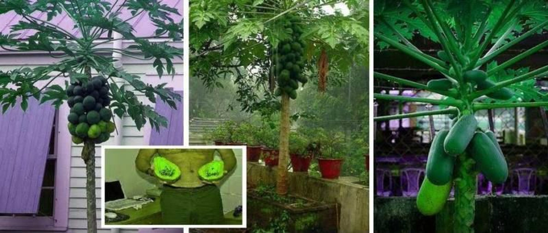 melonenbaum papayas zu hause ernten eine sehr schnellw chsige zimmerpalme samen kaufen bei. Black Bedroom Furniture Sets. Home Design Ideas