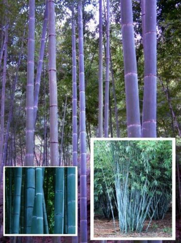 gibts doch gar nicht blauer bambus kein baum w chst schneller samen kaufen bei. Black Bedroom Furniture Sets. Home Design Ideas