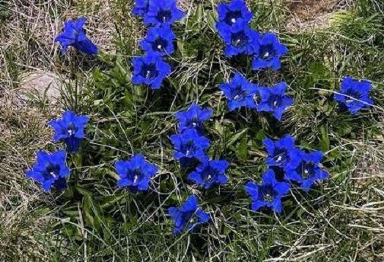 Blauer Enzian Samen Winterharte Balkonpflanze Balkonpflanzen