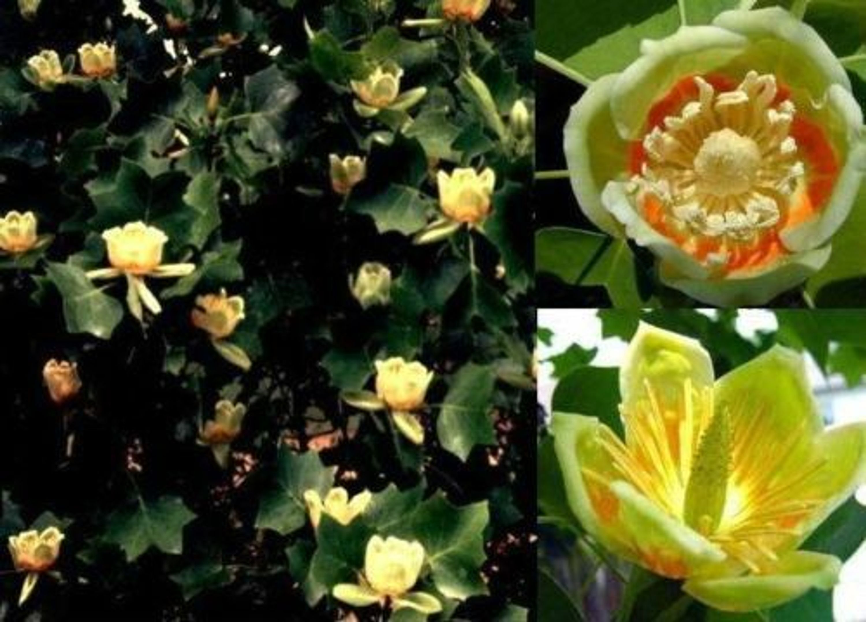 Tulpen Baum Samen Winterfeste Balkonpflanze Balkonpflanzen