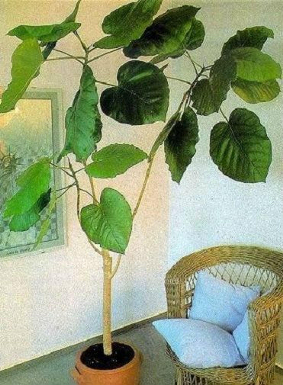 Ficus Auriculata Samen Zimmerpflanzen Die Wenig Licht Brauchen Fur