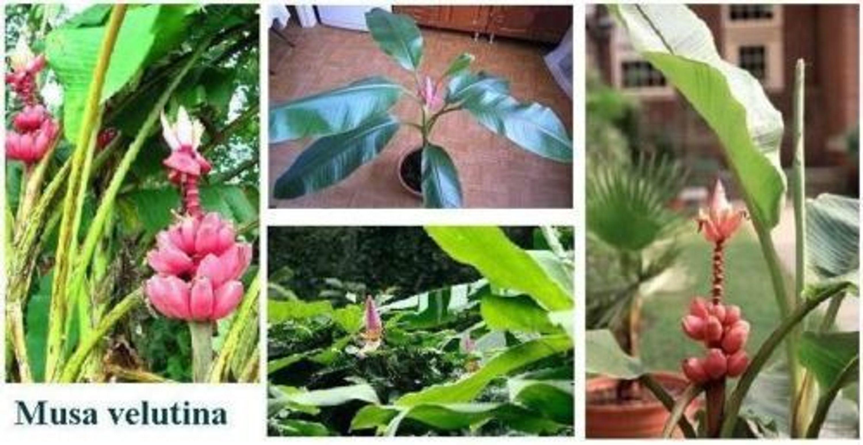 rosa banane samen winterharte balkonpflanze balkonpflanzen pflanzen f r den balkon kaufen bei. Black Bedroom Furniture Sets. Home Design Ideas