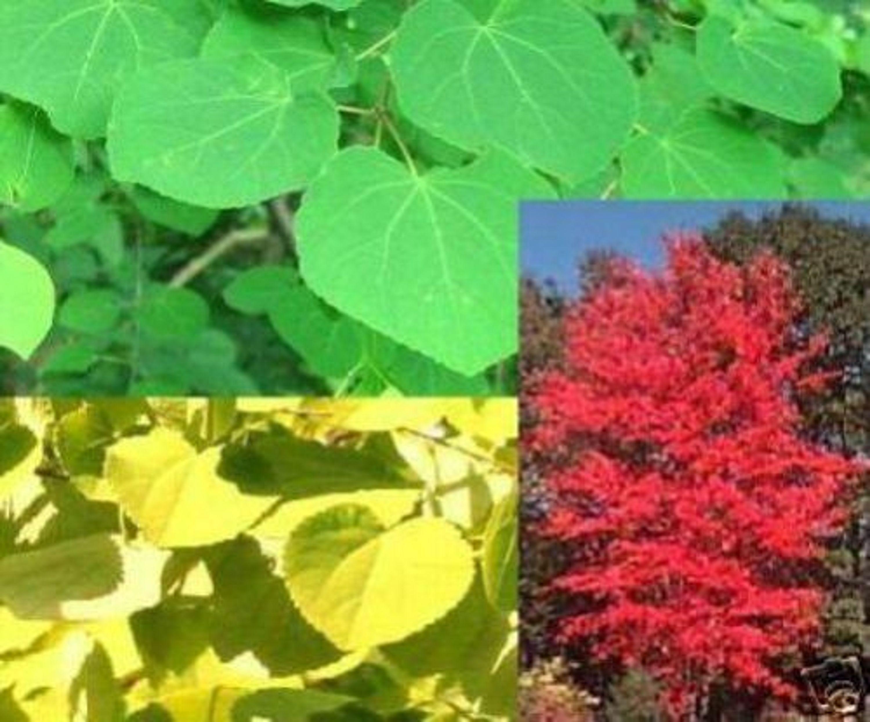 Der lebkuchenbaum ist eine winterharte gartenattraktion samen kaufen bei - Lebkuchenbaum kaufen ...