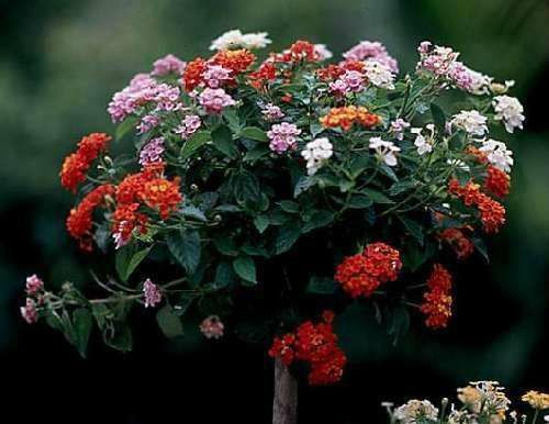 ein blumenbaum aus rosen sieben monate lang mehrfarbig bl hende wandelrose samen kaufen bei. Black Bedroom Furniture Sets. Home Design Ideas