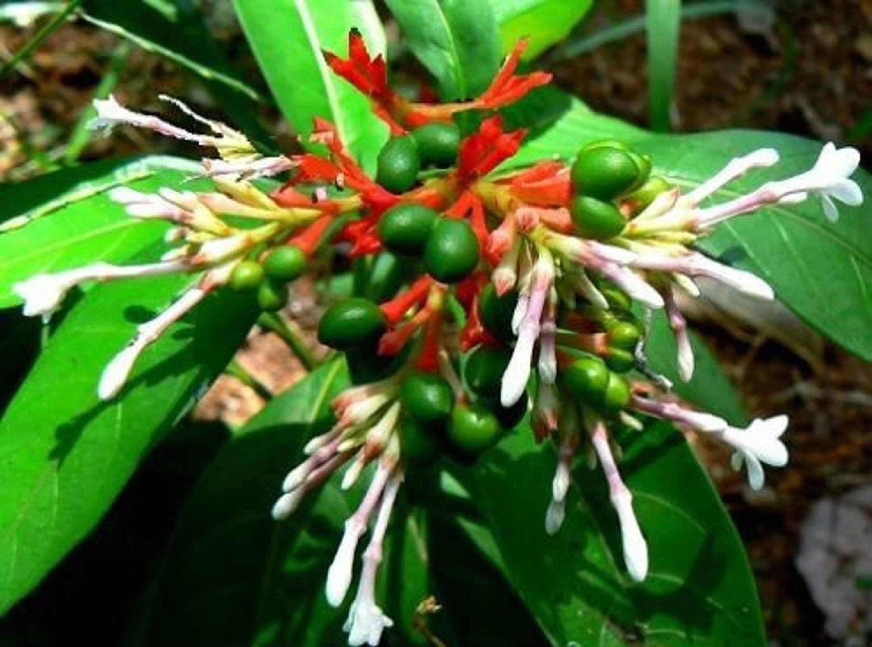 Schlangenwurzel Samen Zimmerpflanzen Für Dunkle Standorte Die