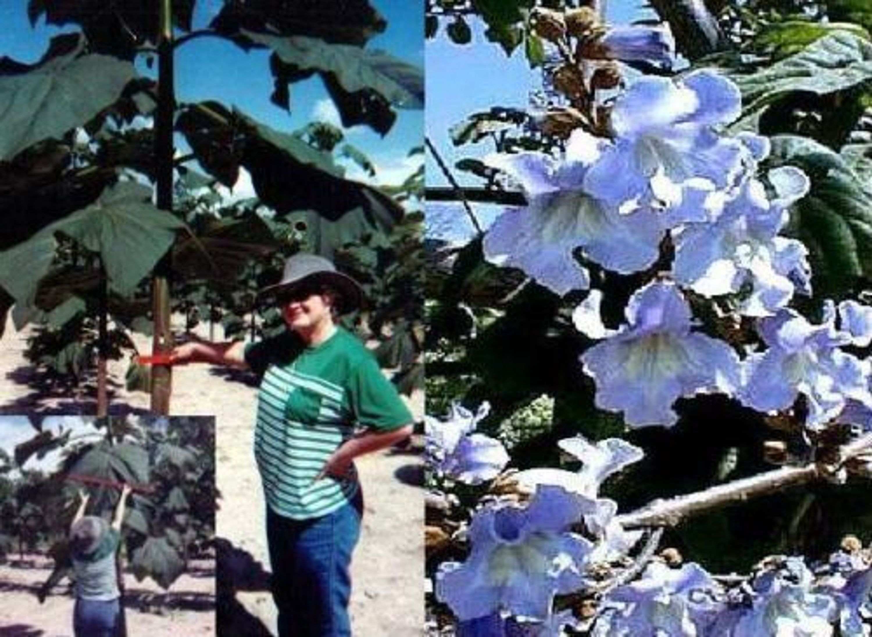 Kaiserpalownie Samen Winterharte Balkonpflanze Balkonpflanzen