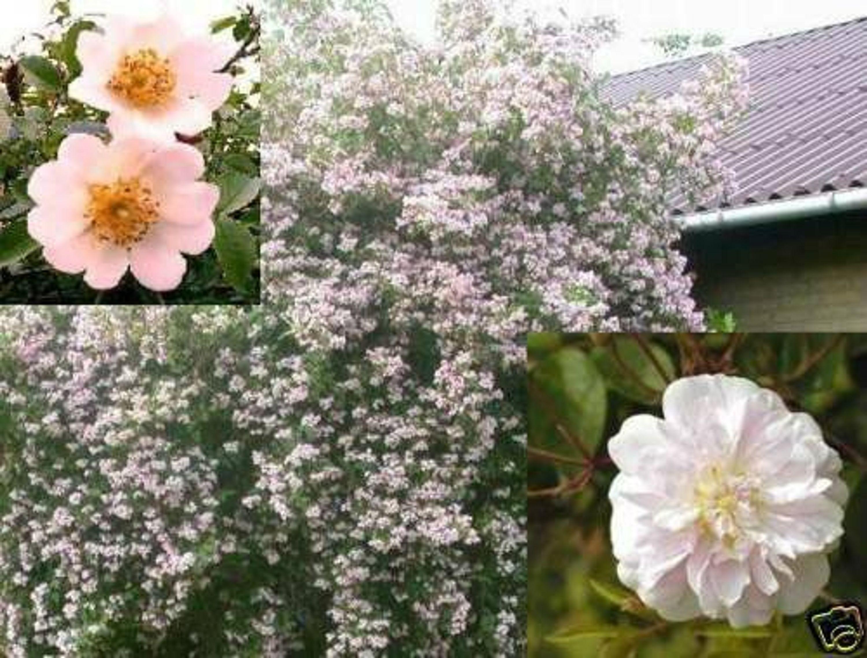 mischung seltene wildrosen kletterrose schnellw chsig garten rosen samen kaufen bei. Black Bedroom Furniture Sets. Home Design Ideas