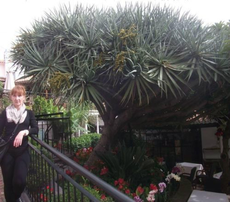 exotischer baum yucca torreyi stammbildende palme f r den garten samen kaufen bei. Black Bedroom Furniture Sets. Home Design Ideas