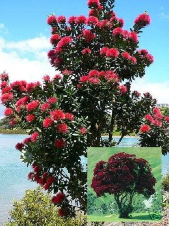 Weihnachtsbaum Samen.Roter Weihnachtsbaum Aus Australien Der Eukalyptus Duft Vertreibt Mücken Samen