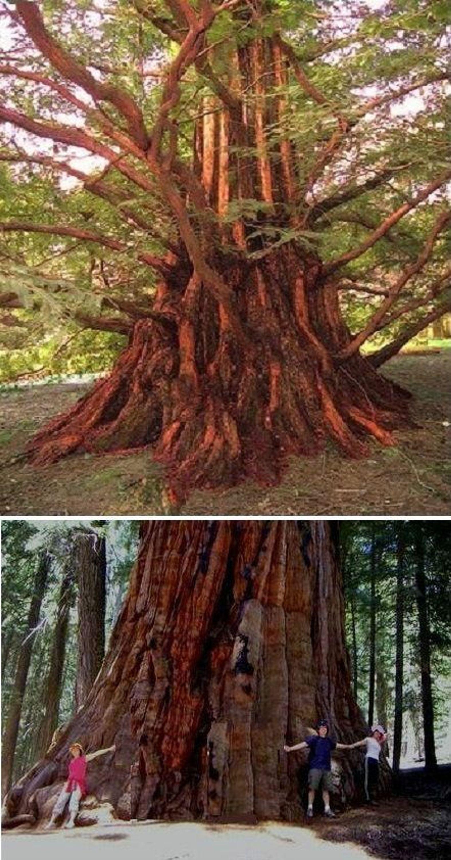 mammutbaum samen set bergmammutbaum urweltmammutbaum garten zierb ume kaufen bei. Black Bedroom Furniture Sets. Home Design Ideas