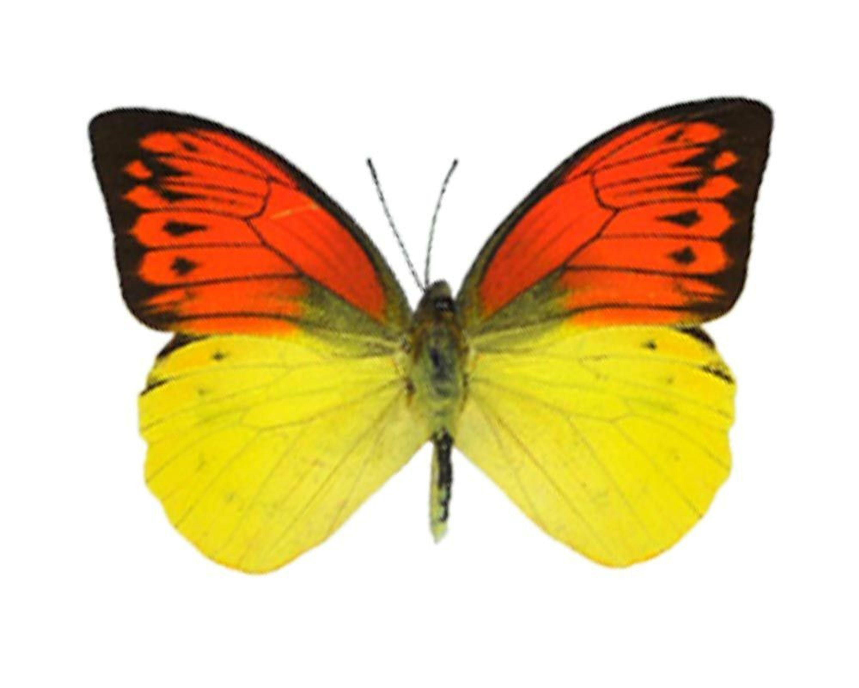 Echter Schmetterling im Bilderrahmen Holz Schaukasten verschiedene ...