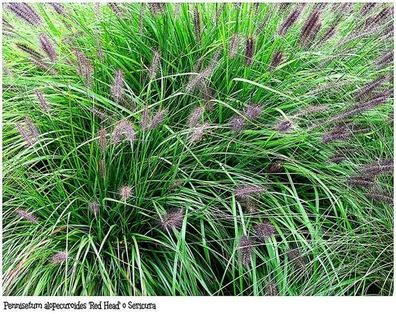 Ephedra sinica 100 Samen Chinesisches Meerträubel Ma-Huang Heilpflanze der TCM
