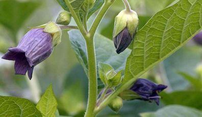 Hexenkraut 1000 Samen Tollkirsche Atropa bella-donna frische Ernte