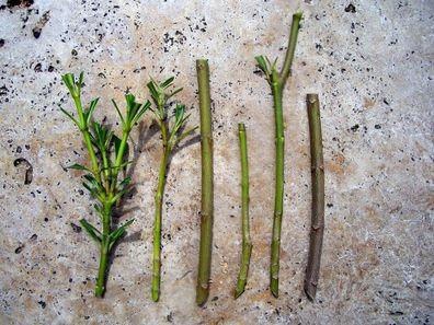 "Oleander /""Madame Allen // Madame Planchon/"" Stecklinge min 3 Nerium oleander"