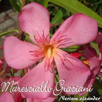 """min 3 Stück Nerium oleander Oleander /""""Professeur Granel/"""" Stecklinge"""