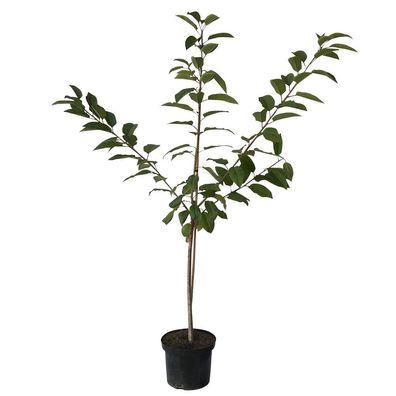 Schattenmorelle robuste große saftige Sauerkirsche Buschbaum 150-170 cm