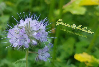 25x Lippenstift-Sinnblume Aeschynanthus gracilis Samen Pflanze Garten #24