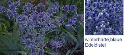 Amaranth hopi red lockt Vögel /& Schmetterlinge schnellwüchsige Blühpflanze Samen