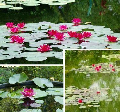 Seerosen Frühblüher Set Wasserpflanzen Sortiment für den Gartenteich Teich Deko