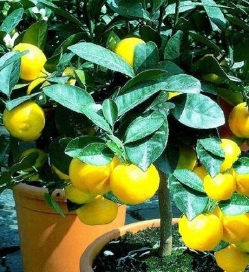 Pflanzen Samen Terrasse Balkon Garten Exoten Sämereien Blume ORANGENBAUM