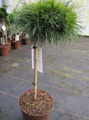 Abies koreana Silberperle Zwerg-Koreatanne Silberperle Stamm 40cm