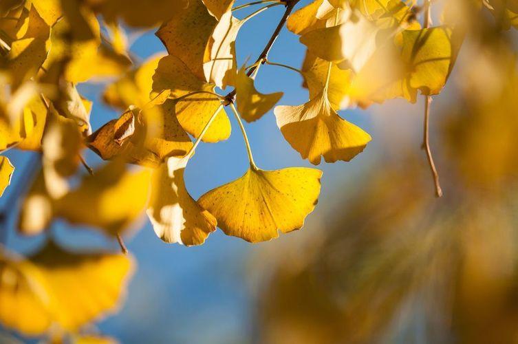 ginkgo biloba fächerblattbaum gingko ginkgobaum lebendes