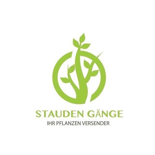 Bodendecker//Stauden Sternmoos 1,79 € pro St 50 x Sagina subulata