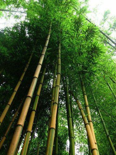 Garten Bambus Samen Rarität seltene Pflanzen schnellwüchsig SCHWARZER BAMBUS